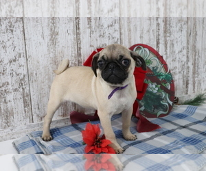 Pug Puppy for sale in SHILOH, OH, USA