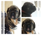 Image preview for Ad Listing. Nickname: Brindle female