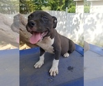 Puppy 1 American Bully Mikelands
