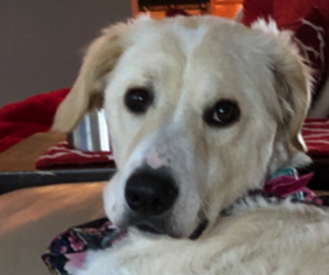 Golden Pyrenees Dog for Adoption in N MYRTLE BCH, South Carolina USA