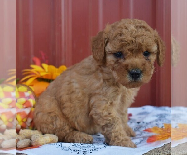 Medium Photo #4 Poodle (Miniature) Puppy For Sale in WOODWARD, PA, USA