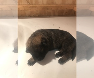 Malinois Puppy for Sale in BURLINGTON, Connecticut USA