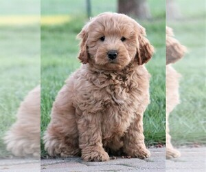 Miniature Labradoodle Puppy for sale in SYRACUSE, IN, USA
