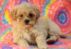 Shih-Poo Puppy For Sale in MOUNT JOY, PA, USA