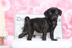 Puggle Puppy For Sale in BEL AIR, Maryland,