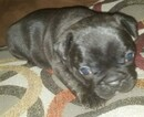 French Bulldog Puppy For Sale in LADSON, SC, USA