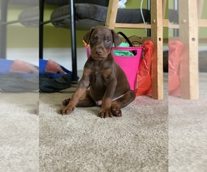 Doberman Pinscher Puppy for sale in ATL, GA, USA
