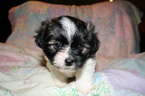 Havanese Puppy For Sale in OSWEGO, NY