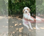Puppy 6 Goldendoodle (Miniature)