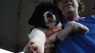 English Springer Spaniel Puppy For Sale in INMAN, SC, USA