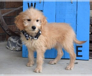 Goldendoodle Puppy for sale in COSHOCTON, OH, USA