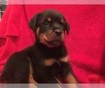 AKC Registered Rottweiler Puppies