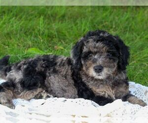 Goldendoodle-Poodle (Miniature) Mix Puppy for sale in ROARING SPRING, PA, USA