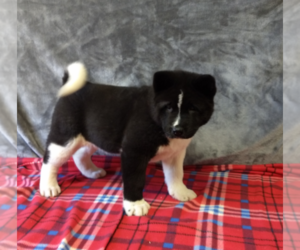 Akita Puppy for Sale in FRESNO, Ohio USA