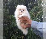 Small #24 Pomeranian