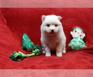 American Eskimo Dog-Pomsky Mix Puppy for sale in MONCLOVA, OH, USA
