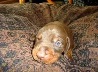 Doberman Pinscher Puppy For Sale in WINDSOR, CA