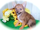 Pomerat Puppy For Sale in HAMMOND, IN, USA