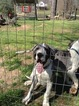 Great Dane Puppy For Sale in MANSFIELD, GA
