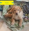 Labrador Retriever Puppy For Sale in MORGANTOWN, Pennsylvania,