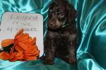 Poodle (Standard) Puppy For Sale in HOISINGTON, Kansas,