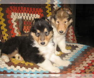 Collie Puppy for sale in ALTURAS, CA, USA