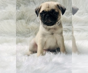 Pug Puppy for Sale in CANTON, Connecticut USA
