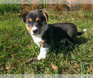 Pembroke Welsh Corgi Puppy for Sale in BRYAN, Texas USA