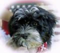 Havanese Puppy For Sale in KODAK, TN, USA