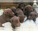 Puppy 5 Labrador Retriever
