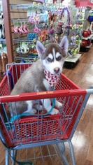 Siberian Husky Puppy for sale in TAMPA, FL, USA