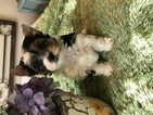Biewer Terrier Puppy For Sale in CANTON, GA, USA