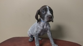 German Shorthaired Pointer Puppy For Sale in SOMERSET, TX