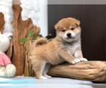 Small Photo #8 Shiba Inu Puppy For Sale in LOS ANGELES, CA, USA