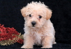 Westiepoo Puppy for Sale