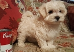Maltipoo Puppy For Sale in AZLE, TX, USA