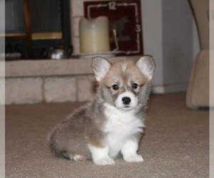 Pembroke Welsh Corgi Dog for Adoption in MADERA, California USA