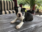 Boston Terrier Puppy For Sale near 44654, Millersburg, OH, USA
