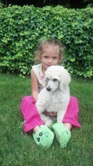 Poodle (Standard) Puppy For Sale in RENTON, WA