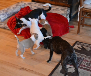 French Bulldog-Rat Terrier Mix Puppy for Sale in MEDFORD, Oregon USA