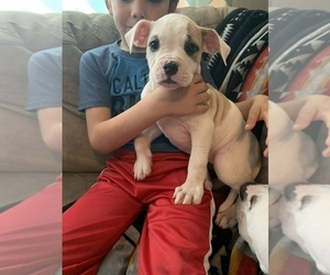 American Bulldog Puppy for sale in TOCCOA, GA, USA