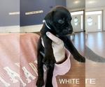 Puppy 10 Mastador
