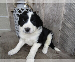 Border Collie Puppy for sale in INDIANAPOLIS, IN, USA