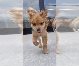 Pomeranian Dog for Adoption in ATL, Georgia USA