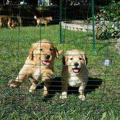 Golden Retriever Puppies For Sale Kansas City