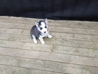 Siberian Husky Puppy For Sale in POPLAR GROVE, IL