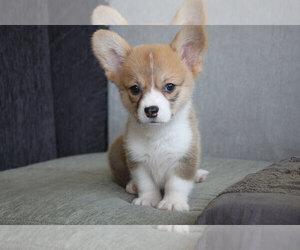 Pembroke Welsh Corgi Puppy for sale in CHICAGO, IL, USA