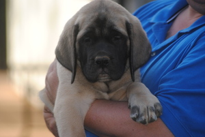 Mastiff Puppy For Sale in OREGON HOUSE, CA, USA