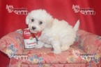 Shih-Poo Puppy For Sale in SANGER, TX, USA
