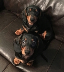 Beautiful Male Dachshunds Ready for Their Forever